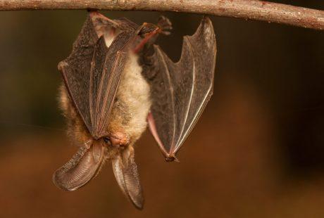 Vleermuisonderzoek conform vleermuisprotocol