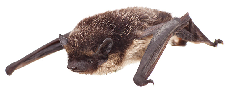 tweekleurige-vleermuis